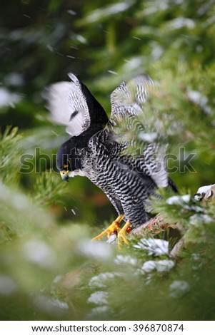 Peregrine Falcon, Bird of prey  with fly snow sitting on the tree with dark green forest in background, action scene in the nature tree habitat, Germany - stock photo