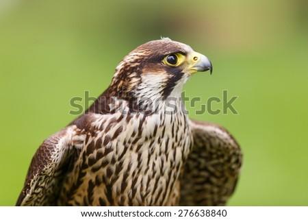 Peregrine Falcon close up - stock photo