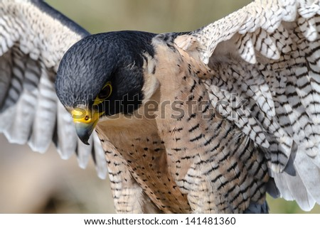 Peregrine Falcon close up with wings spread - stock photo
