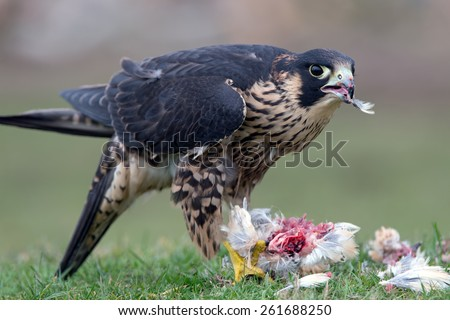 Peregrine Falcon eating captured bird/. (Falco Peregrinus) - stock photo
