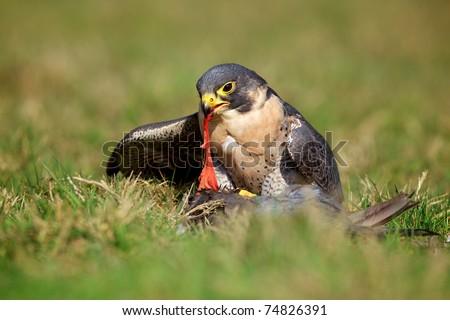 peregrine falcon eating its prey - stock photo