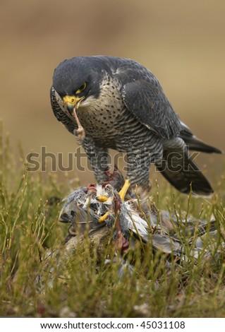 Peregrine Falcon (Falco peregrinus) - stock photo