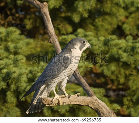 Peregrine Falcon (Falco Peregrinus) Perched on Branch in Front of Pine Trees-Shallow Depth of Field - stock photo