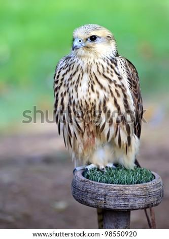 Peregrine Falcon (Falco peregrinus), Spain - stock photo