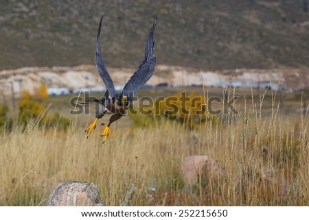 Peregrine falcon (Falcon peregrinus) flying in a field - stock photo