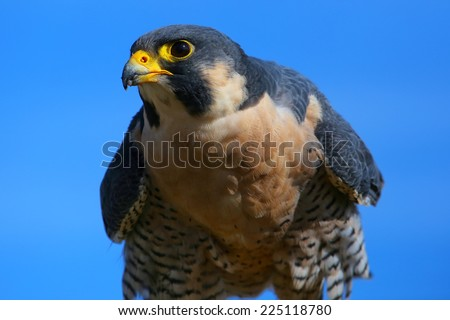Peregrine falcon (Falcon peregrinus) sitting on a stick - stock photo