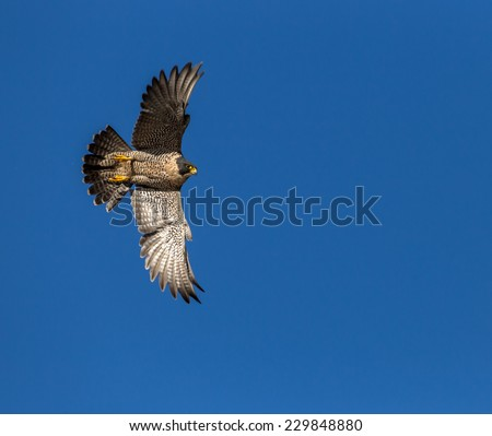 Peregrine Falcon flying through the wild blue yonder - stock photo