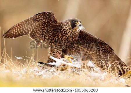 stock-photo-peregrine-falcon-has-pigeon-