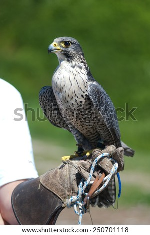 Peregrine Falcon held by a falconer - stock photo