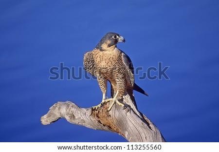 Peregrine falcon on dead tree branch - stock photo