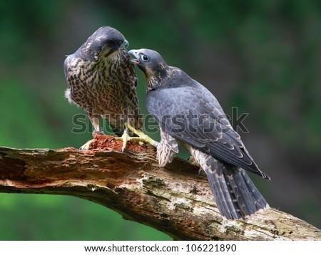 Peregrine Falcons - stock photo