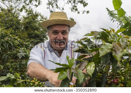 PEREIRA, COLOMBIA - OCTOBER 25, 2015: Unidentified man harvesting coffee in the Zona Cafetera region of Colombia. Colombia is the third largest coffee exporter in the world.