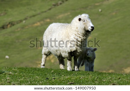 Perendale Sheep and her lamb.It's a breed of sheep developed in New Zealand by Massey Agricultural College (now Massey University) for use in steep hill situations. It is raised primarily for meat. - stock photo