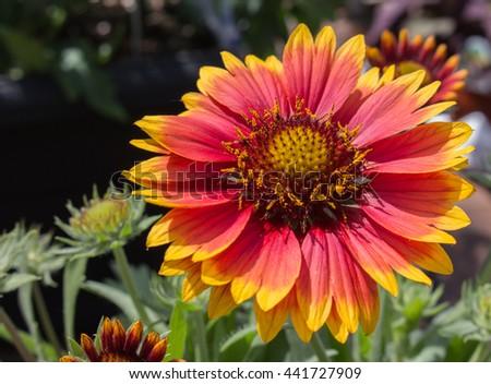 Perennial blanket flower red yellow stock photo royalty free perennial blanket flower red and yellow mightylinksfo