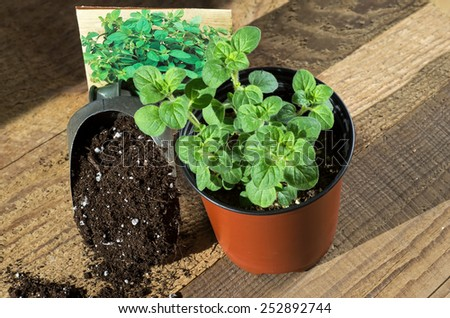 Perennial herb Greek Oregano with seed packet and scoop of potting soil.  - stock photo