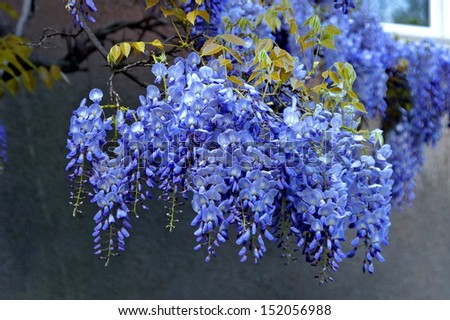 Perennial Wisteria Sinensis Blossom In Spring Climbing Of