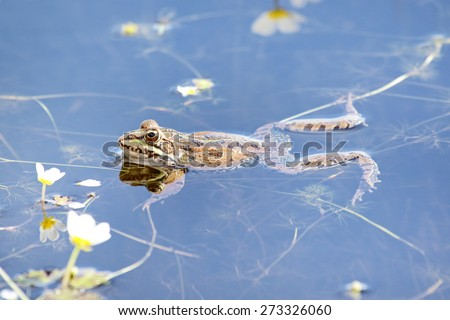 Perezi´s frog in the water (Pelophylax perezi). - stock photo