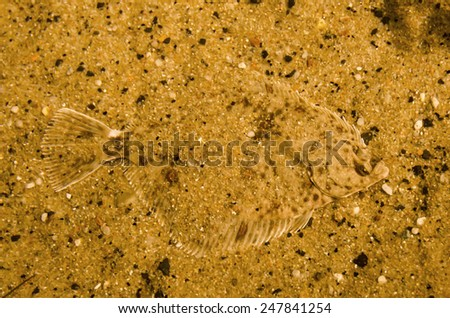 Perfect camouflaged flounder fish - stock photo