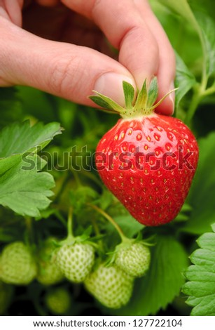 Perfect fresh strawberry being plucked, with green leaves in the background - stock photo