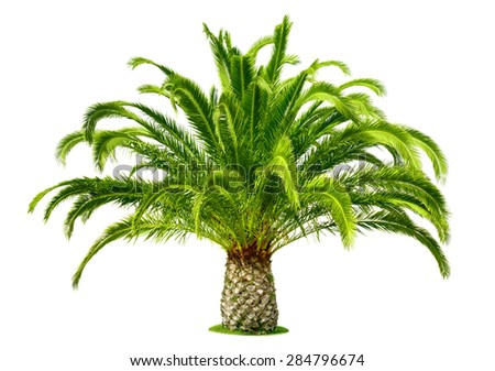 Perfect palm tree with lush, fresh green leaves and a short trunk, isolated on pure white - stock photo