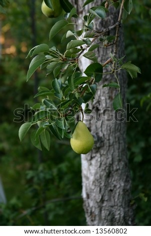 Perfect Pear on Tree - stock photo