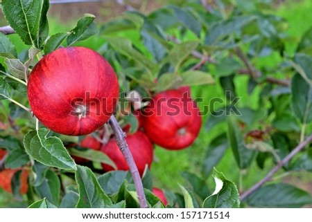 perfect red apples - stock photo
