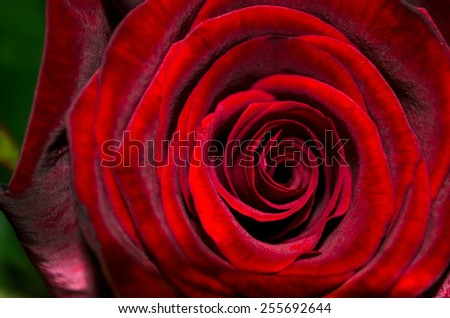 perfect red rose  - stock photo