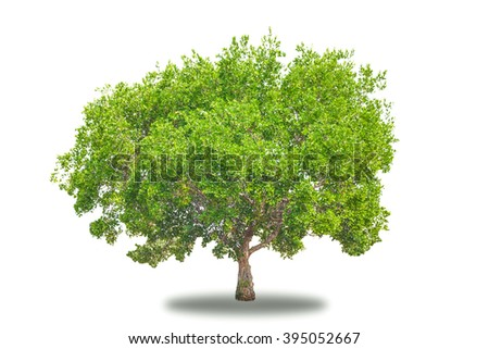 Perfect tree with lush green foliage and nice shape isolated on pure white background