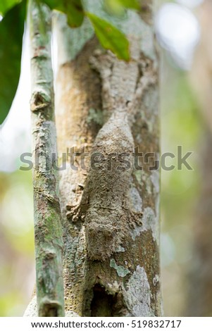 Perfectly masked mossy leaf-tailed gecko, Uroplatus sikorae, species of gecko with the ability to change its skin color to match its surroundings. Andasibe National Park,  Madagascar wildlife