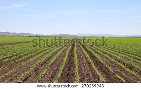 Perfectly straight rows in a roadside field in Goodyear, Arizona