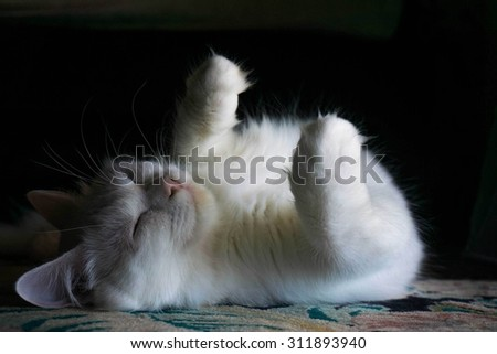 perfectly white cat sleeping - stock photo