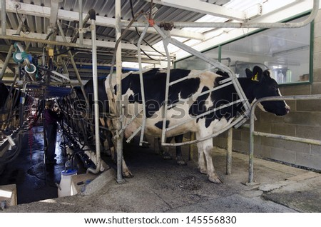 PERIA, NZ - JULY 07:Holstein cows in a milking facility on July 07 2013.The income from dairy farming is now a major part of the New Zealand economy, becoming an NZ$11 billion industry by 2010.
