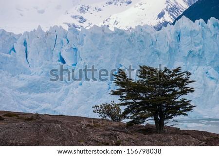 Perito Moreno glacier in Argentina with tree in the foreground - stock photo