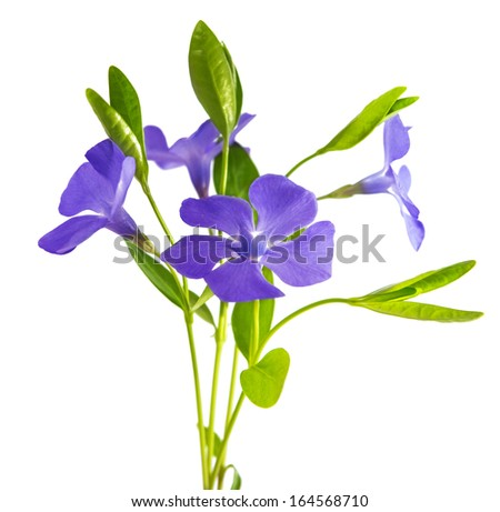 periwinkle flower isolated on white background
