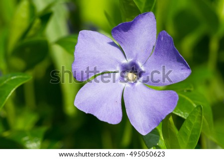 Periwinkle flower on thee green background