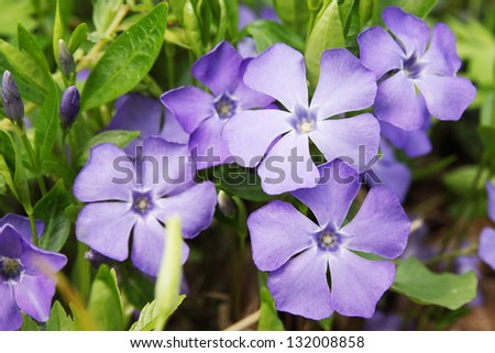 Periwinkle Vinca blue spring flowers in the forest - stock photo
