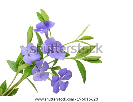 Periwinkle, Vinca minor isolated on white background - stock photo