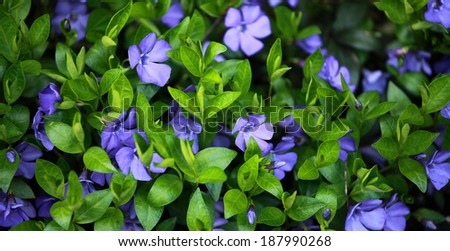 Periwinkle (Vinca minor) plant with flowers - stock photo