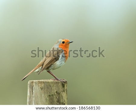 Perky adult European Robin on fence post