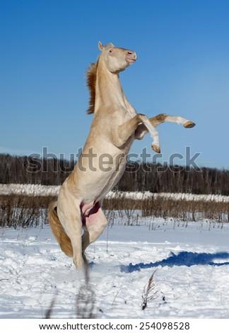 perlino akhal-teke horse rearing in snow field - stock photo