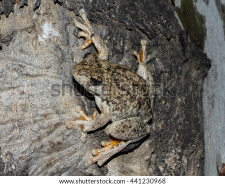 Peron's tree frog, the emerald-spotted tree frog, the emerald-speckled tree frog, the laughing tree frog, or the maniacal cackle frog is a common Australian tree frog of the Hylidae family. - stock photo