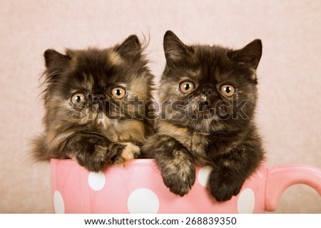 Persian and Exotic kittens sitting inside large pink cup with white polka dots on beige background  - stock photo