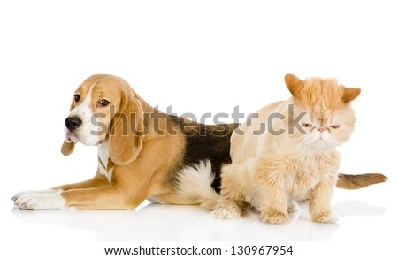 persian cat and Beagle in profile. isolated on white background - stock photo