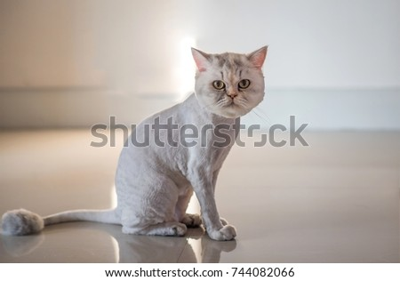 Persian cat haircut styles lion cut stock photo 744082066 shutterstock persian cat haircut styles lion cut for cats concept winobraniefo Images