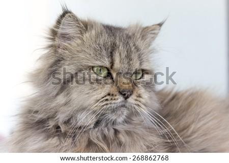 Persian cat - hairy cute cat - stock photo