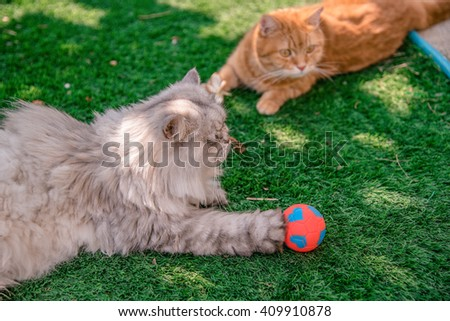 Persian cat happy with his red and blue ball together on grass tufted in the home garden,  - stock photo