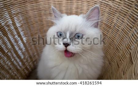 Persian cat in a rattan basket - stock photo