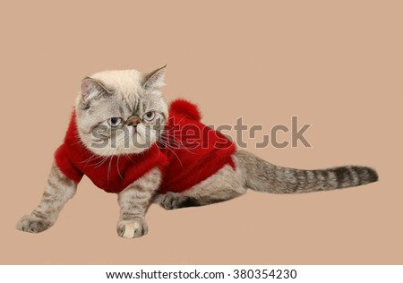 Persian cat in a warm sweater isolated on a light background - stock photo