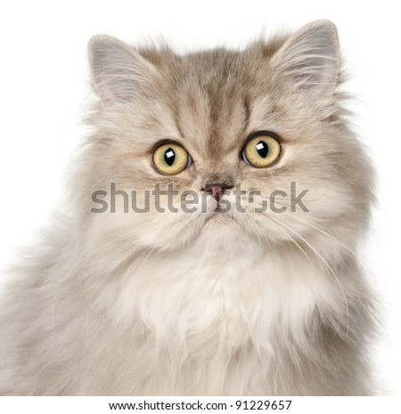 Persian cat, in front of white background - stock photo