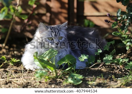 Persian cat in garden in the sunshine